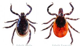 The Ixodes scapularis (black-legged or deer tick) can transmit Lyme disease and Equine granulocytic anaplasmosis. Photo courtesy TickEncounter - TickSpotters program, www.TickEncounter.org/tickspotters