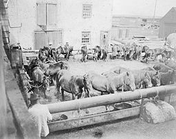 Sable Island Ponies after being unloaded from a steamer to be sold at auction – 1902.