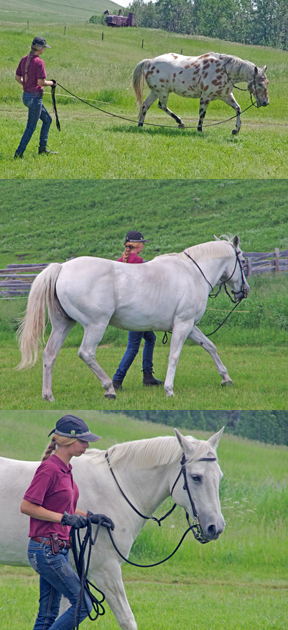 Body language is how horses think and move. A young American visitor working The Best (now a serious elder) and 13-year old The Fox on a simple line, in the front very open pasture. Photo by Pam Asheton