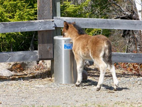 A foal takes a drink from a Nelson Waterer.