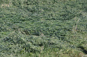 Alberta's recent and ferocious snowstorm (over a foot of heavy wet snow caused huge damages to crops and trees) completely flattened this green feed crop next to the barn and shelter area.