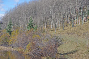 Two different habitats with a trail threading through – on the left-hand  is marsh, muskeg, moose and muskrat country; to the right is open woodland, magical summer flowers here, and where elk and whitetail deer saunter through. Your horse's reaction to wildlife can vary wildly and where training at home, in 'safe' pastures, can really pay dividends.