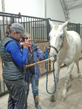The vet scopes Luc while he stands drearily from the tranquilizer.