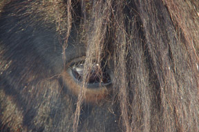 Another adaptation, of 'using' that great mop of a forelock to hide what his eyes are displaying; in the wild, as a stallion, this, I am guessing, keeps an opponent guessing where the vision's locked onto.  With human interaction, I am guessing he doesn't mind hiding under cover (and keeping his thoughts that way) too.