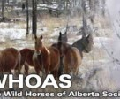 The Alberta government has authorized the capture of up to 60 wild horses in the Ghost area. The Wild Horses of Alberta Society will have the chance to adopt and re-home them.