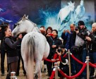 The stars of Cavalia's Odysseo have arrived in Toronto. The show opens on April 8th.