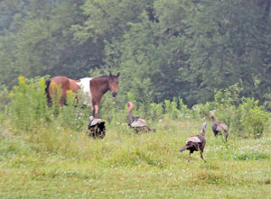 A rafter of turkeys hanging out in Luc's field.