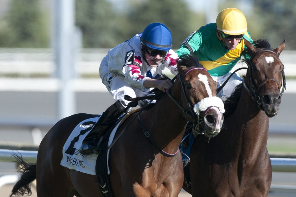 Toronto Ont.September 24, 2016.Woodbine Racetrack.Jockey Jesse Campbell guides Caren to victory in the $150,000 dollar Ontario Colleen Stakes at Woodbine Racetrack over the E.P.Taylor turf course.Caren is owned by Robert Marzilli and trained by Michael De Paulo. michael burns photo