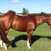 Beautiful AQHA Working Cow Horse mare $1200 For Sale