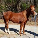 6 Year Old Quarter Horse With Great Potential!
