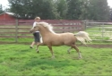 Gorgeous palomino Welsh mare with huge movement-great performance prospect. VIDEO and PICS available!