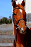 Experienced \'\'A\'\' Large Pony For Sale
