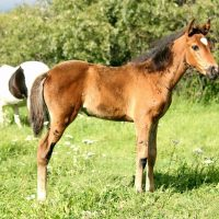 2016 Andalusian x Thoroughbred Filly