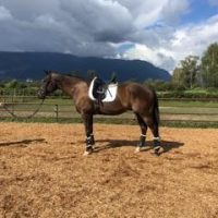 Big Athletic Thoroughbred for Sale