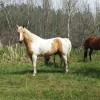 Palomino Paint for sale