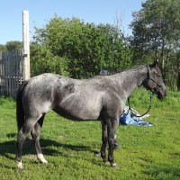 Blue Roan Apha Mare for Sale