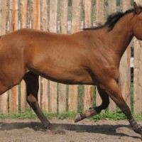 Sweet, Tall Appendix Mare  for Sale