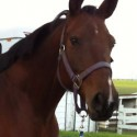 Gorgeous 2005 registered CWHBA mare