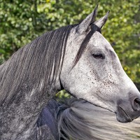 Opportunity : Beautiful grey Arabian Mare for Sale