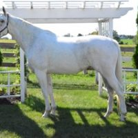 Stunning RPSI Mare for Sale