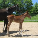 2014 beautiful, elegant warmblood filly for sale by Checkmate