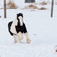 Gypsy Vanner 2016 Colt from Excellent Bloodlines!!