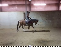 Coming 5 year old mare ready for the show ring!