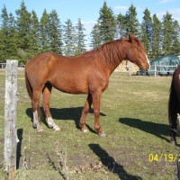 Registered 1/2 Andalusian 1/2 Hanoverian brood mare for sale