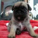 Akc Baby Pugs ready for their forever homes
