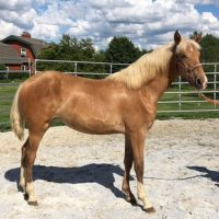 Rocky Mountain Filly $800 For Sale