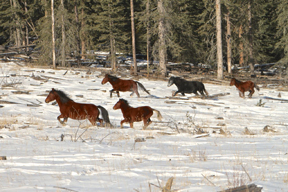 One herd of wild horses near Sundre, Alberta, taken last November.Photo by Bob Henderson, of the Wild Horses of Alberta Society
