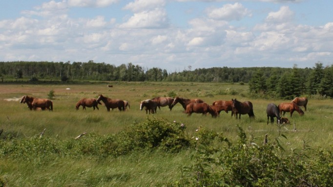 Thumbnail for The Wild Horses of Saskatchewan's Bronson Forest