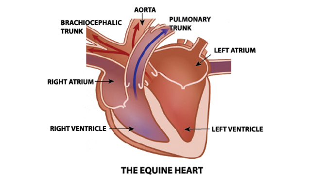 Thumbnail for The Equine Heart: Function, Malfunction and Sudden Death