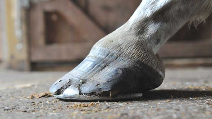 Thumbnail for Extreme Makeovers – Hoof Edition: Saving Sadie's Hooves