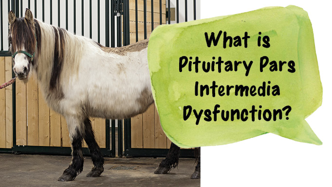 Thumbnail for Pituitary Pars Intermedia Dysfunction