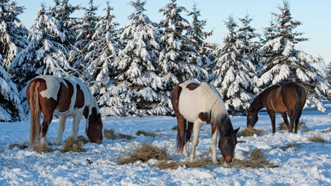Thumbnail for Do I Need to Feed my Horse More in the Winter?