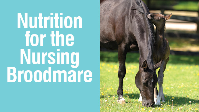 Thumbnail for Nutrition for the Nursing Broodmare