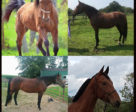 Redemption Ride - Standardbred Edition horses: (top) Rods Famous Ribs and Real Fool, (bottom) Angietotherescue and Foreigner.