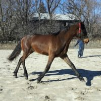 Friesian Sport Horse For Sale