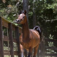 Gorgeous Arabian mare for a forever home