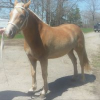 Young Haflinger Mare for Sale