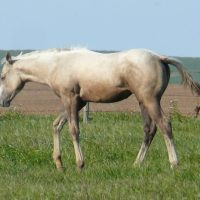 2016 Race Bred Grey Palomino Filly CBHI & BBR eligible