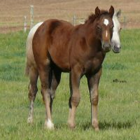 2016 Race Bred Chestnut Flaxen Filly CBHI&BBR eligible